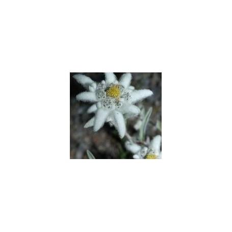 Huiles essentielles Huile essentielle, Edelweiss de Ambiance des Alpes