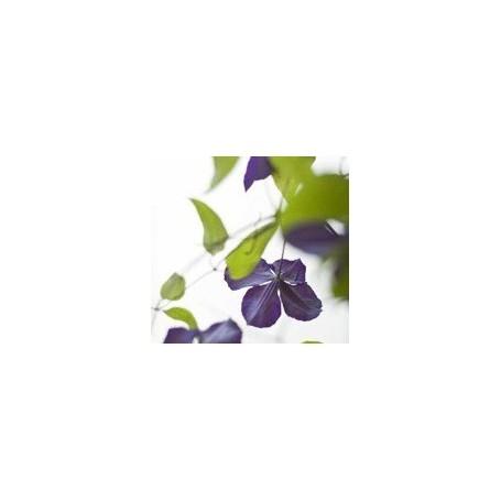 Bouquets parfumés Bouquet parfumé, Clématite des Alpes de Ambiance des Alpes