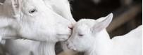 Produits cosmétiques et savons au lait de chèvre